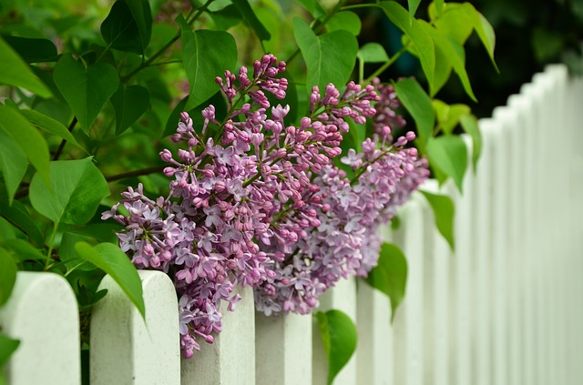 White repainted fence with lilca bushes behind